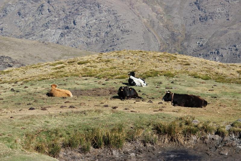 Auch die Kühen halten Siesta